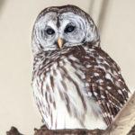 George Dissmeyer - Barred Owl