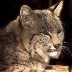 George Dissmeyer - Bobcat Profile Master