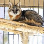 George Dissmeyer - Gray Fox on Perch