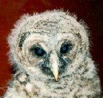 Owl-150x142(1)
