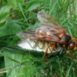 cicadakiller-300x185
