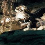 gatorsturtles-1-300x225