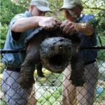 Alligator snapping turtle in pond