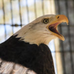 George Dissmeyer - Bald Eagle Portrait