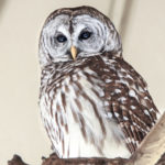 George Dissmeyer - Barred Owl