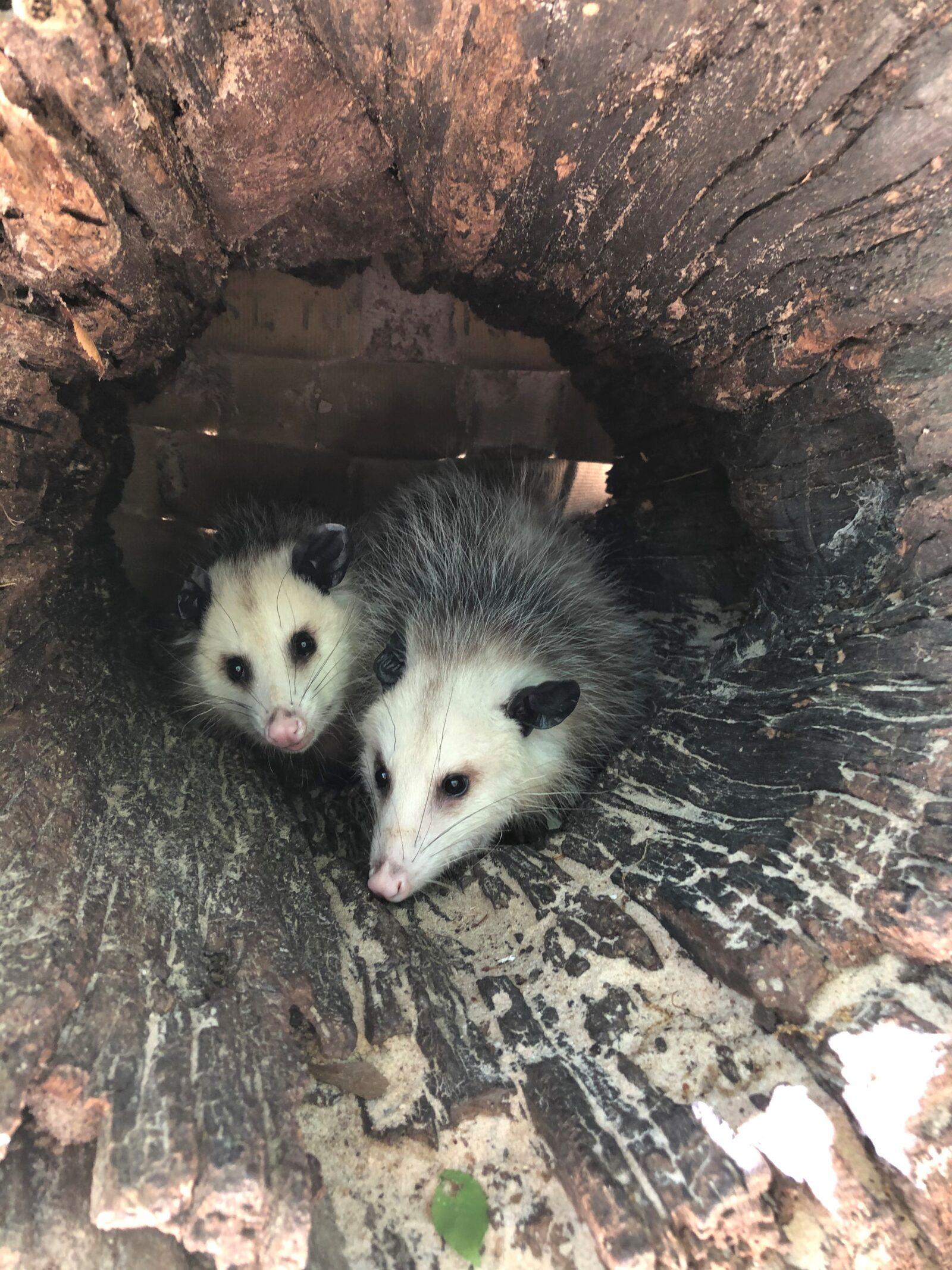 opossum21
